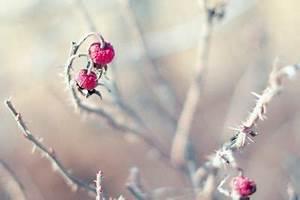 Hortensien überwintern Im Keller : rosen im keller berwintern ist das sinnvoll ~ Frokenaadalensverden.com Haus und Dekorationen