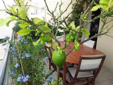 quand tailler un citronnier 4 saisons en pot citronnier des 4 saisons