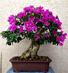 care of bougainvillea in pots bonsai bougainvillea care