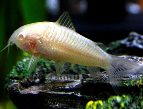 poisson d eau douce les vari 233 t 233 s les plus courantes de corydoras animogen