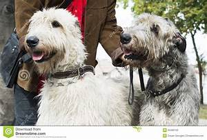 Two Giant Schnauzer Dogs Stock Photos - Image: 34490103