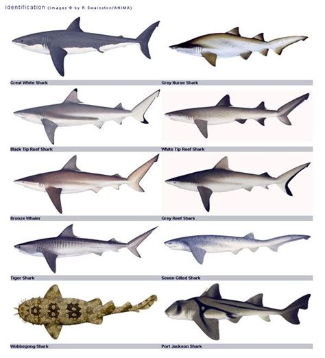 great australian shark count
