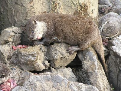 otters eat urchins animals momme