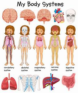 Human Body Systems Diagram
