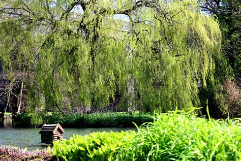 Weeping Willow Tree Facts Gardenerdy