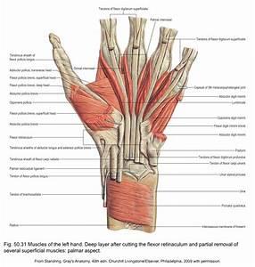 Anatomy Of The Wrist