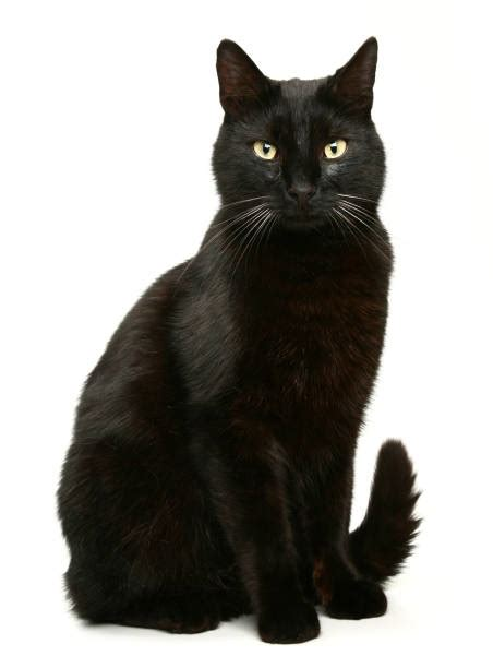 black cat stock  pictures royalty  images