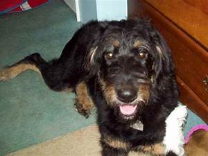 Rottle (Rottweiler-Poodle Mix) Info, Temperament, Puppies ...