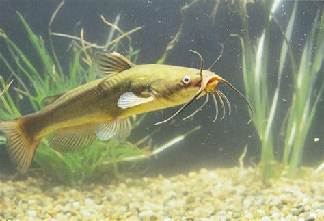 poisson chat d aquarium poisson chat1