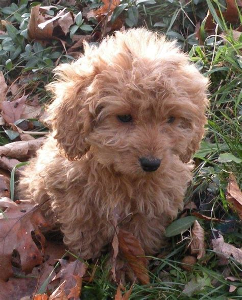 Do American Cockapoos Shed by 17 Best Images About Cockapoo I You On