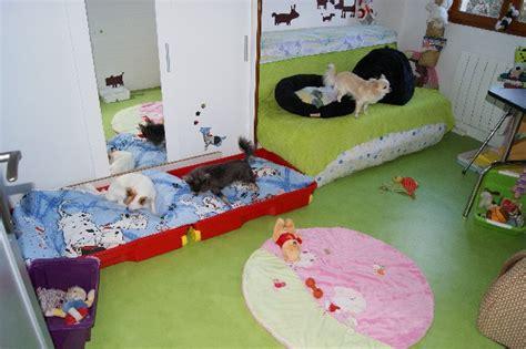 chambre de chien elevage des nichées de riopse eleveur de chiens chihuahua