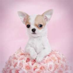 metal roses chihuahua puppy portrait photograph by waldek dabrowski
