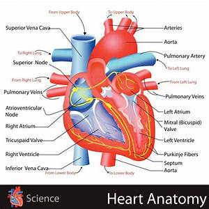 Learn About The Heart  Simple Anatomy Craft