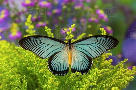 giant blue swallowtail butterfly identification facts