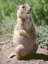 Gunnison's prairie dog - Wikipedia