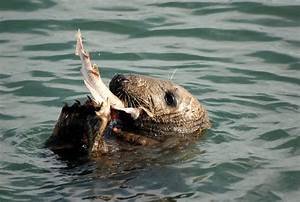 Seal Eating Dogfish in Howth Harbour | Seal Eating Dogfish ...