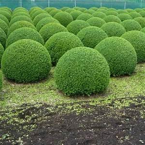 Buchsbaum Schablone Kaufen : buchsbaum 50 cm preis buchsbaum kugel 45 50 cm premium ballenware pflanzen janssen gmbh ~ Watch28wear.com Haus und Dekorationen