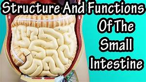 Structure Of The Small Intestine