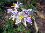 Genus Solanum / Género Solanum (Solanum mauritanum ...