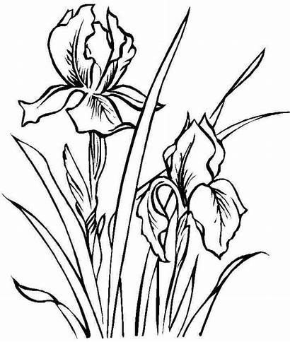 Iris Flower Coloring Flowers Drawing Pages Line