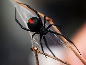 Woman is bitten by a black widow spider hiding in a bag of ...