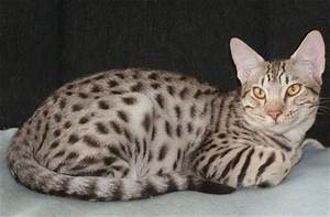 Ocicat kittens for sale, Jumpnspots Ocicat Kittens for ...