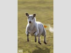 Mash Up Sheep GIF Find & Share on GIPHY
