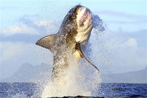 Great White Shark Jumping Out Of Water Wallpaper Incredible Picture Of Great White Shark Leaping From The Sea Metro News