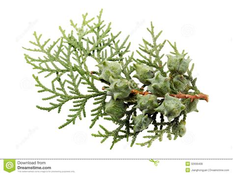 Leaves Of Pine Tree Royalty Free Stock Photos-image