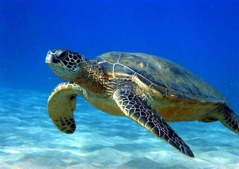 High Resolution Animal Wallpapers - animal sea turtle high definition wallpaper resolution sea