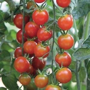 Plant Tomate Cerise : tomate cerise pepe f1 pot de 10 5 cm potager ~ Melissatoandfro.com Idées de Décoration
