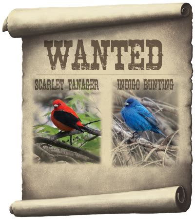 How To Attract Indigo Buntings To Your Backyard by Attract Indigo Buntings Scarlet Tanagers Bird Store