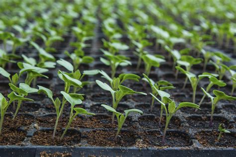 how to grow a seedling cauliflower planting guide how to grow cauliflower from seeds