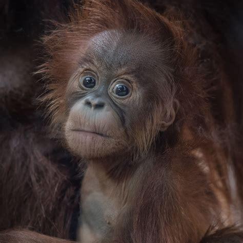 zoo chester orangutan fire orangutans