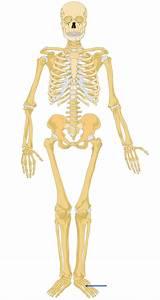 Skeleton Body Front