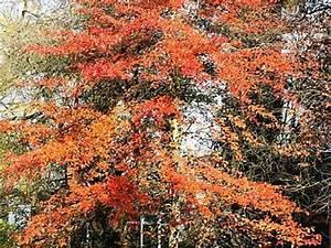 Arbre Ombre Croissance Rapide : arbres d ornement a croissance rapide maison design ~ Premium-room.com Idées de Décoration