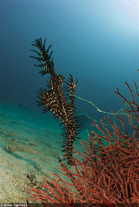 ghost pipefish underwater photography