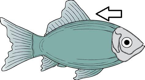 Fish Anatomy Flashcards