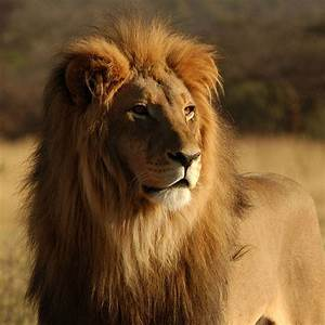 Lion - Random Photo (35799282) - Fanpop