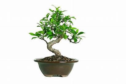 Bonsai Office Tree Desk Plants Ficus Indoor