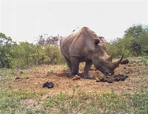 Rhinos Use Poop Piles Like A Social Network