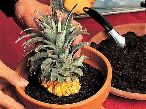 planter un ananas en pot la bouture de l ananas