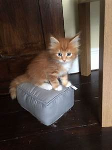 Red Tabby Maine Coon x Kittens | Enfield, Middlesex ...