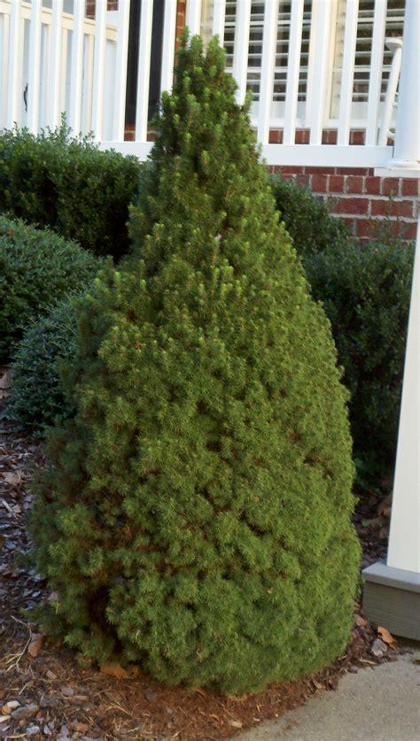 alberta spruce columnar plants add interest to any landscape landscaping my nashville home