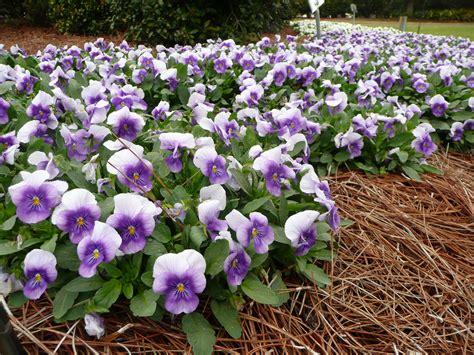 sorbet violas sorbet violas louisiana super plant fall 2012 lsu agcenter