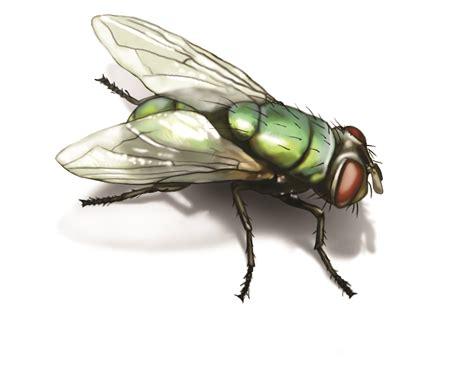 Green Bottle Fly Get Rid Of Green Bottle Flies In House