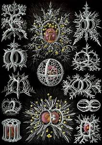 The Stunning Beauty Of The Mineral Radiolarians Skeletons