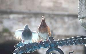 Faire Fuir Les Pigeons : r pulsif pigeons 10 trucs pour les loigner projets ~ Melissatoandfro.com Idées de Décoration