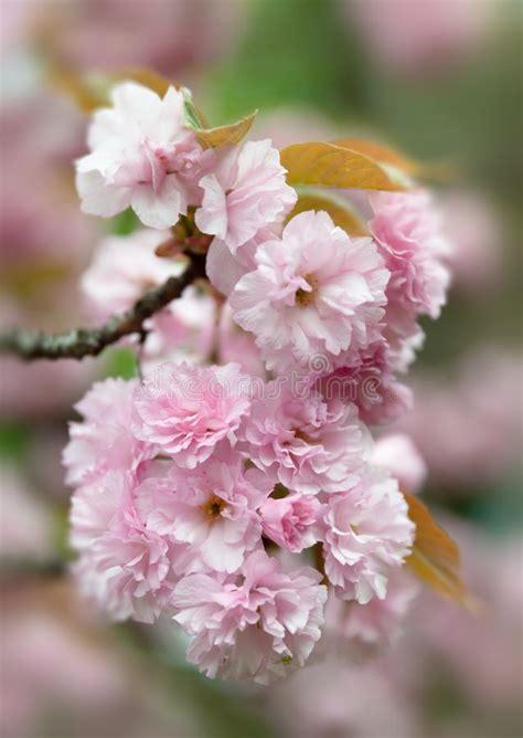 Sakura Cherry Blossom Branch Stock Image Image of close