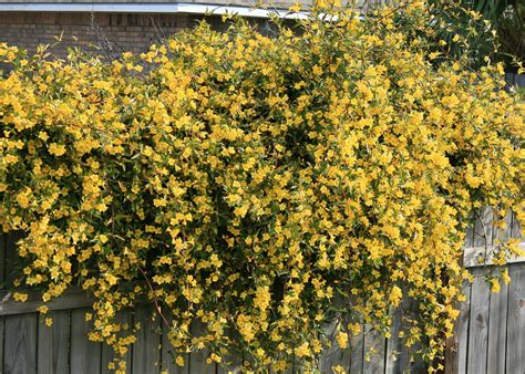 yellow flower vines pictures plant flowering vines now for great show next spring mississippi state university extension